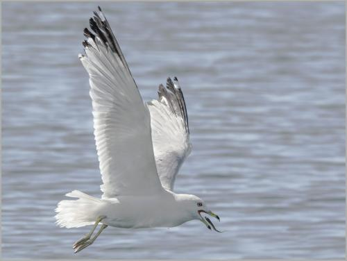 Ring-Billed Gull'S Catch 8.5 9 8 25.5 TC SPP Peter Chow  Nature Silver