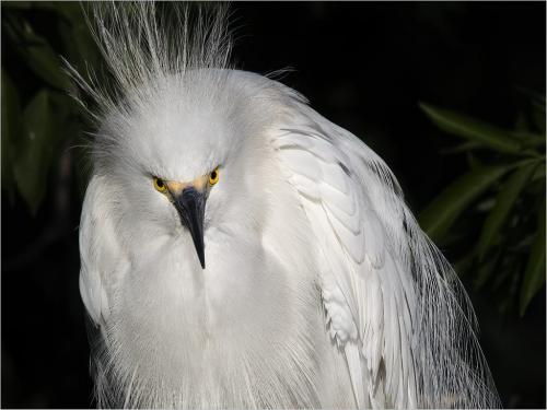 Snowy Egret 7 8 7.5 22.5 SPP Peter Chow  Nature Silver