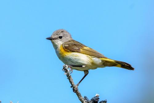 Solitary Vireo 6.5 7.5 7.5 21.5 Andy Langs  Nature Silver