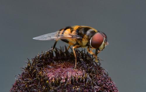 Syrphus Vitripennis 8 7.5 7.5 23 GPP Greg Alderson  Nature Gold