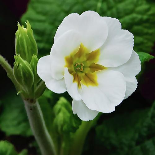 White Primula  Pictorial Silver
