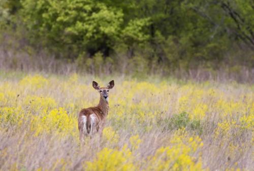 White-Tailed Deer 7 8 7 22 Pat Wintemute  Nature Gold