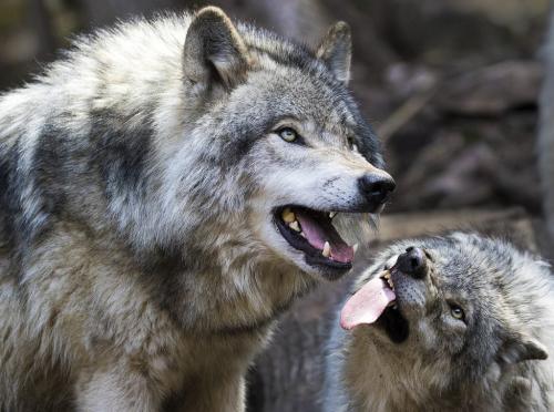 Wolves Submissive Posture 8 7.5 7.5 23 David Seldon  Nature Master