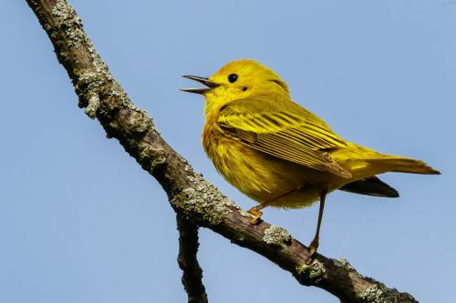 Yellow Warbler 6.5 7.5 7.5 21.5 Jim Thomson  Nature Gold