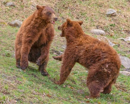 Cinnamon Bears 9 8 8.5 25.5 TC GPP Geoff Dunn  Nature Gold