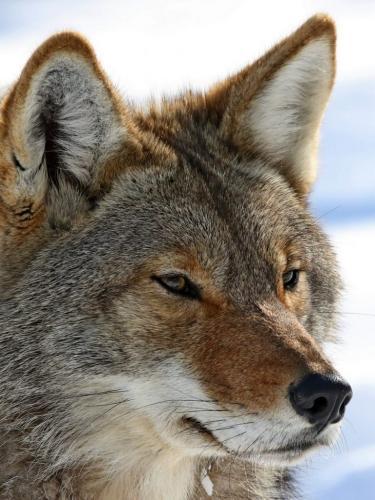 Coyote 7.5 7 7.5 22 Dan Copeland  Nature Master