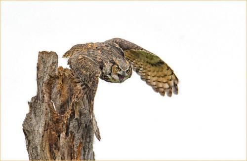 Great Horned Owl 19 6.5 7 7.5 21 Greg Alderson  Nature Gold