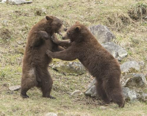 Cinnamon Bears 8 6.5 7.5 22 Gary Love  Nature Master