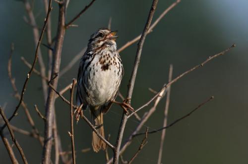 Song Sparrow 2 7.5 8.5 7.5 23.5 GPP Greg Alderson  Nature Gold