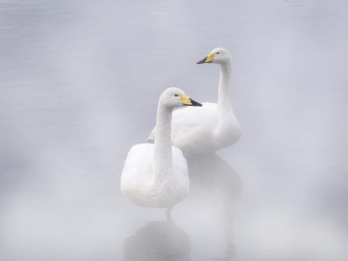 Whooping Swan In Hot Spring 7.5 8 8 23.5 HM SPP Peter Chow  Pictorial Silver