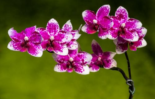Showy Orchids 21 Don Poulton  Pictorial Master