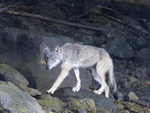 Coastal wolf, B.C. 23.5 David Seldon  Nature Master