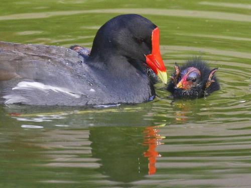 Gallinule and chick 20 David Seldon  Nature Master