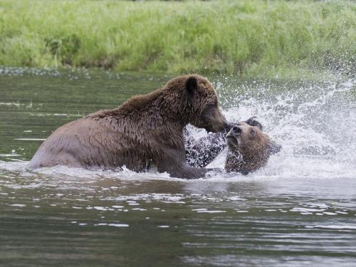 Grizzlies splashing 22.5 David Seldon  Nature Master