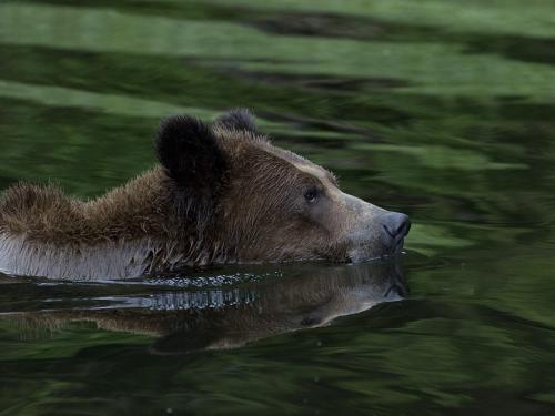 Grizzly swimming 24 DP David Seldon  Nature Master