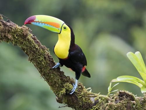 Keel-billed toucan 23.5 David Seldon  Nature Master