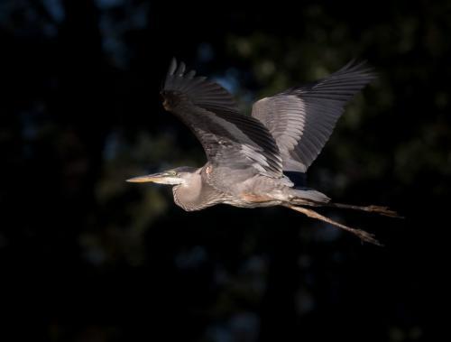 Great Blue Heron 20.5 John Strung  Nature Gold