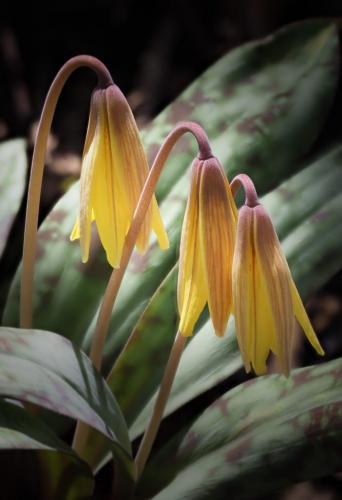 Trout Lilies 21 John Strung  Nature Gold