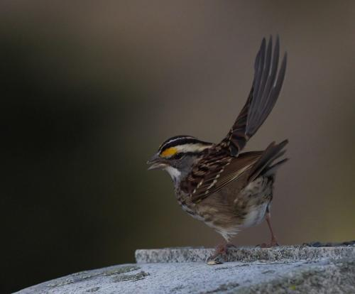 White-throated Sparrow 21.5 John Strung  Nature Gold