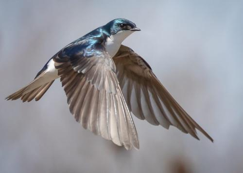 Tree Swallow 20 Jim Sykes  Nature Silver