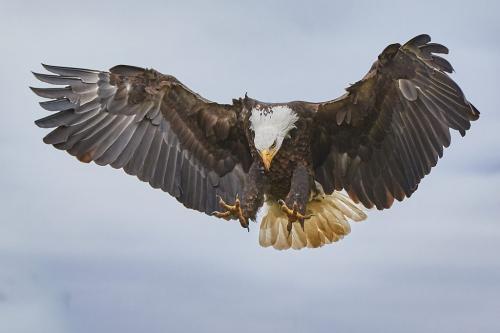 Bald Eagle 22 Victor Turczynski  Pictorial Gold