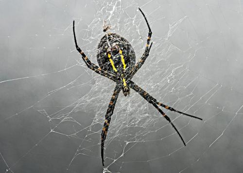 banded garden spider 21 Art Ward  Nature Gold