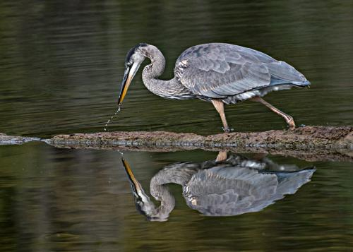 great blue heron 21 Art Ward  Nature Gold