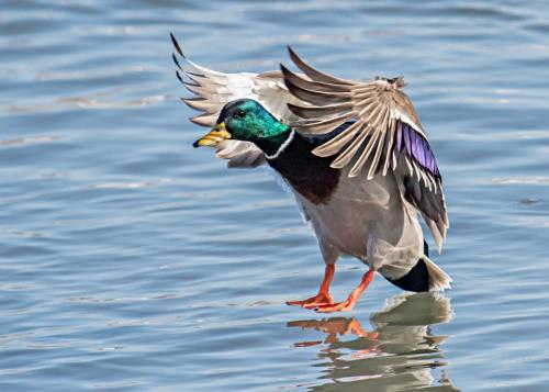 Mallard duck landing 21 Art Ward  Nature Gold