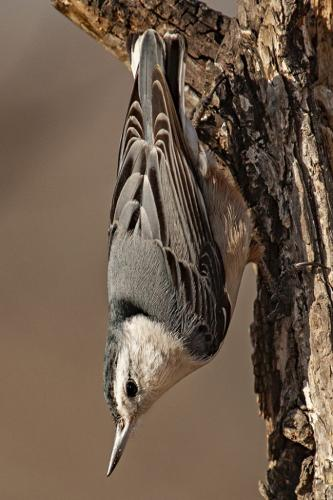 white breasted nuthatch 21 Art Ward  Nature Gold