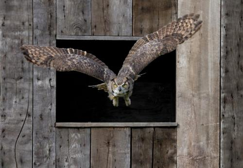 Great Horned Owl 24.5 HM GPP Pat Wintemute  Pictorial Gold