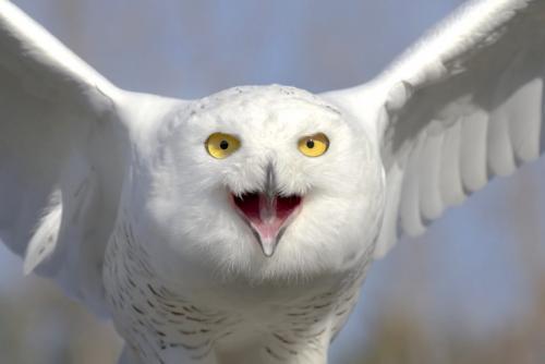 Snowy Owl 25 TC GPP Pat Wintemute  Nature Gold