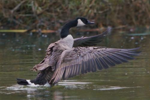 Canada Goose 21 BPP Michelle Achong  Nature Bronze