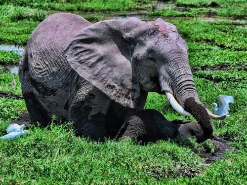 African Elephant Rescuing Baby 20 Peter Bartens  Nature Master