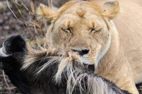 Lion with Wildebeest Kill 24 DP Peter Bartens  Nature Master