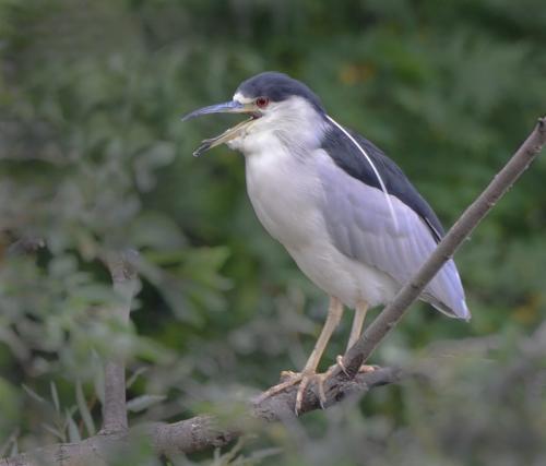 Black Capped Night Heron 20.5 Colleen Bird  Nature Gold