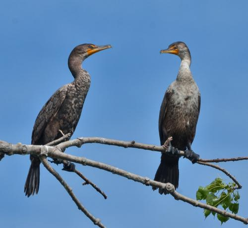 Double Crested Cormorants 20 Colleen Bird  Nature Gold