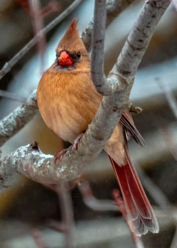 Female Northern Cardinal  Nature Gold