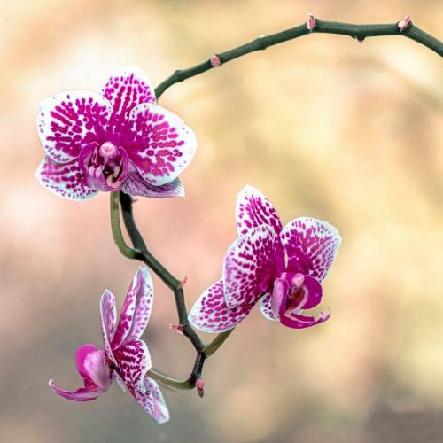 Magenta Orchid 21.5 John Chapman  Pictorial Gold