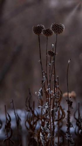 Winter Burdock 19.5 John Chapman  Pictorial Gold