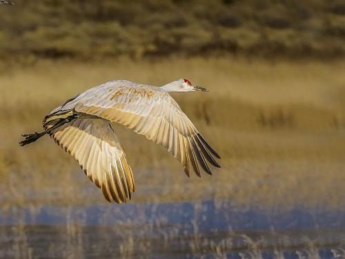 Sandhill Crane in Flight 22.5 SPP Peter Chow  Nature Silver