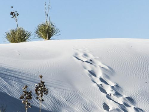 Soaptree Yucca on White Sand 20 Peter Chow  Pictorial Silver
