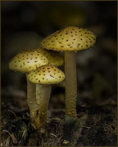 Scaly Pholiota Mushrooms 24.5 HM GPP Doug Doede  Nature Gold