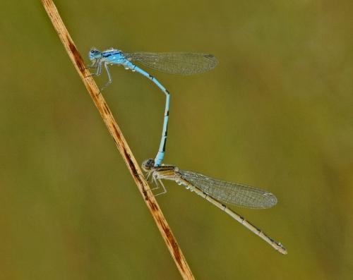 Mating Damselflies 23.5 Heather Engel  Nature Master