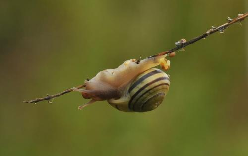 Snail Laying Eggs #2 23 Heather Engel  Nature Master