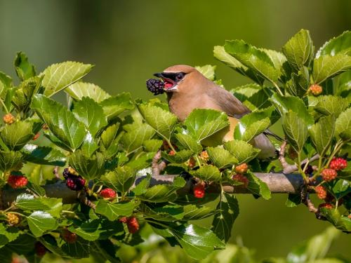 Cedar Waxwing with Mulberry 24 HM SPP Brian Floyd  Nature Silver