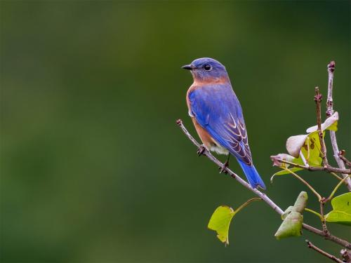 Eastern Bluebird 22.5 SPP Brian Floyd  Nature Silver