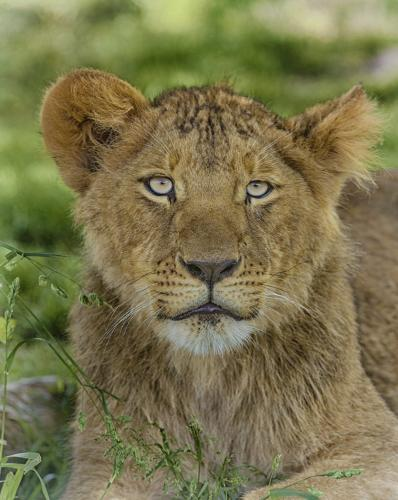 Lion Cub 23 GPP Leonie Holmes  Nature Gold