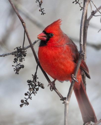 Northern Cardinal 22 BPP Carey Hope  Nature Bronze