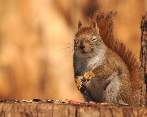 Red Squirrel  20 Carey Hope  Pictorial Bronze