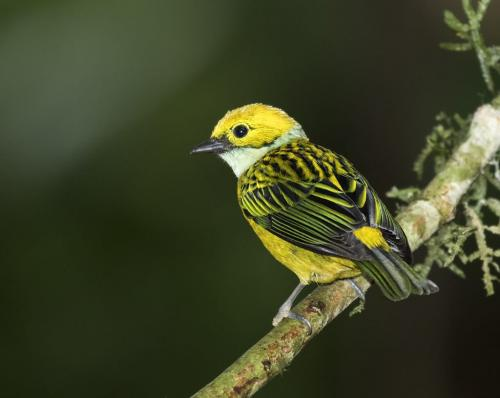 Silver Throated Tanager 22 Marilyn Jarrett  Nature Master